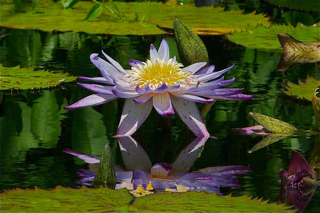 flower on a lake
